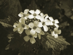 Controlling outbreaks of the invasive herb garlic mustard