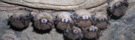 Multi-scale model of White-nose syndrome