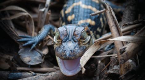Nest temperature and sex ratios in a crocodilian