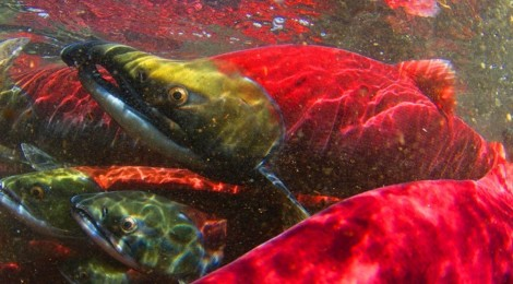 Phase transitions in salmon population dynamics