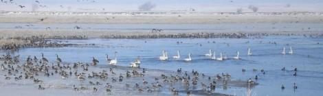 Adaptive evolution of avian influenza virus