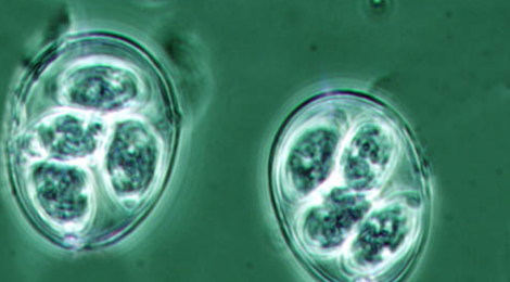 Oocysts of the genus Eimeria, a group of protozoans that infect a wide range of animal species